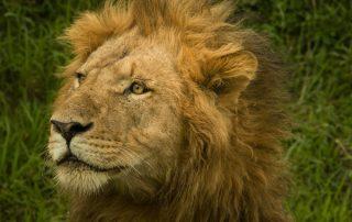 Lion - Photo by Michael Spain on Unsplash