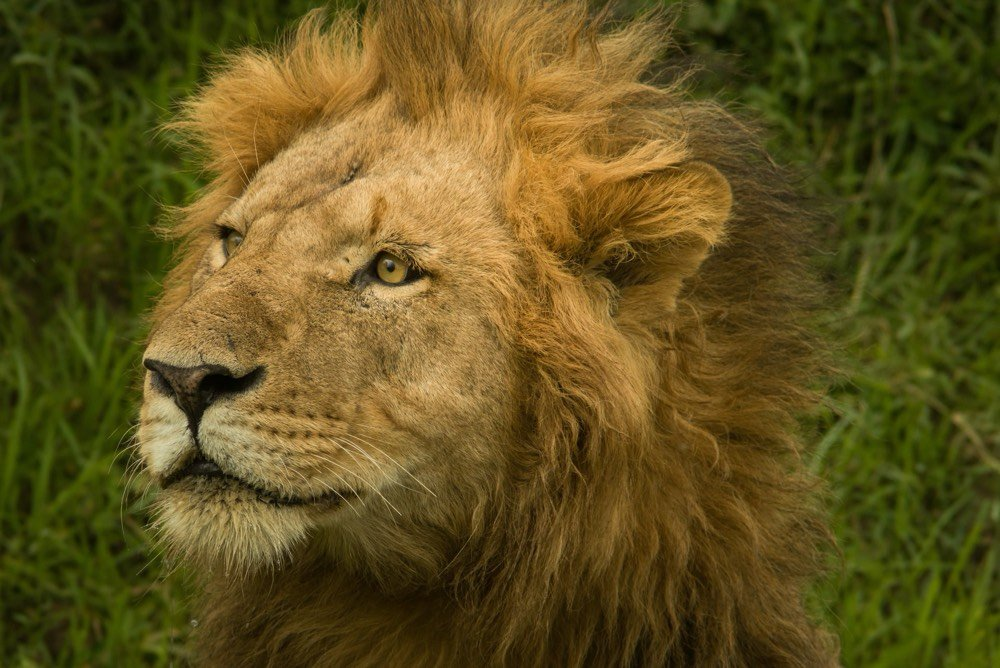 Lion - Photo by Michael Spain on Unsplash